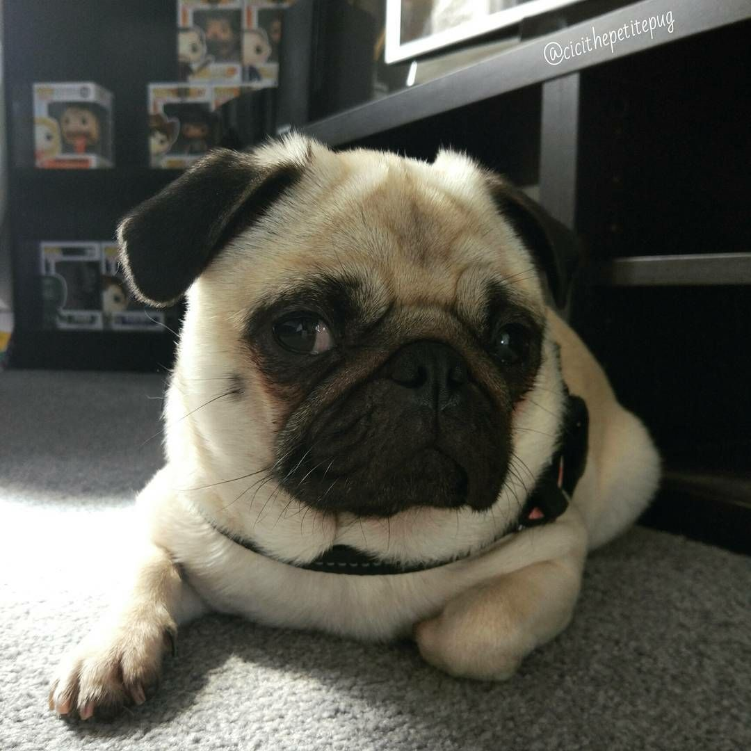 Thank You To Cicithepetitepug From Scotland Tag Us To Be