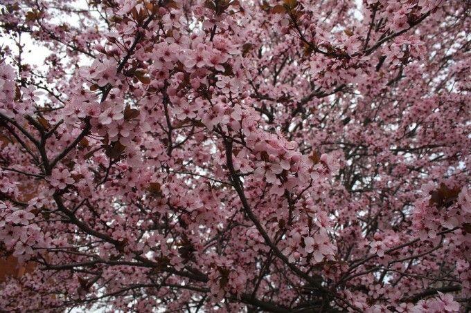 Prunus Cerasifera Purple Leaf Plum Prunus cerasifera 'Thu...