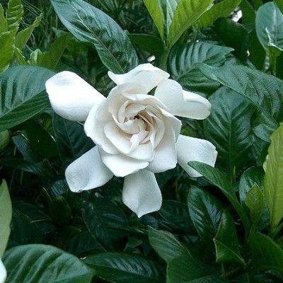 Pachnace Kwiaty Doniczkowe With Images Gardenias Sadzenie