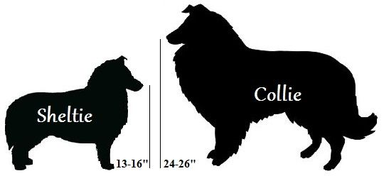 sheltie vs collie