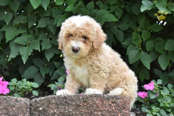 Rosalyn Bichpoo Puppy For Sale In Millersburg Oh Lancaster