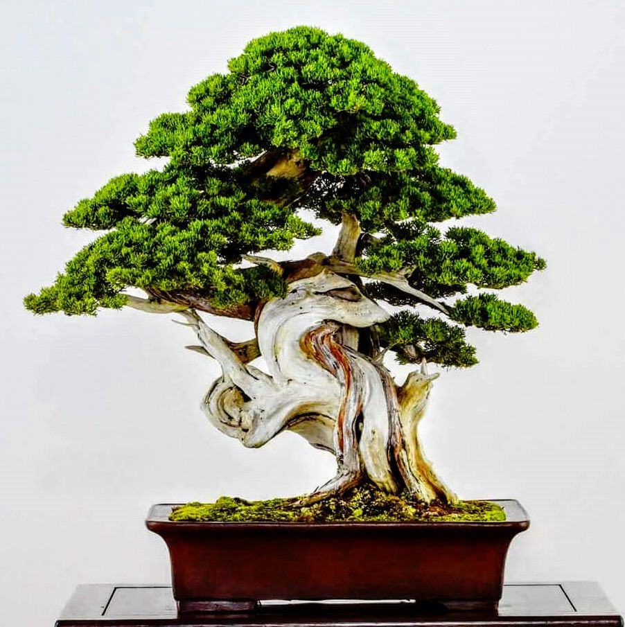 Juniper Bonsai Can T Take My Eye Away From The Stunning Deadwood And How The Live Vein Twists Around The Deadwood Juniper Bonsai Bonsai Tree Care Bonsai Art