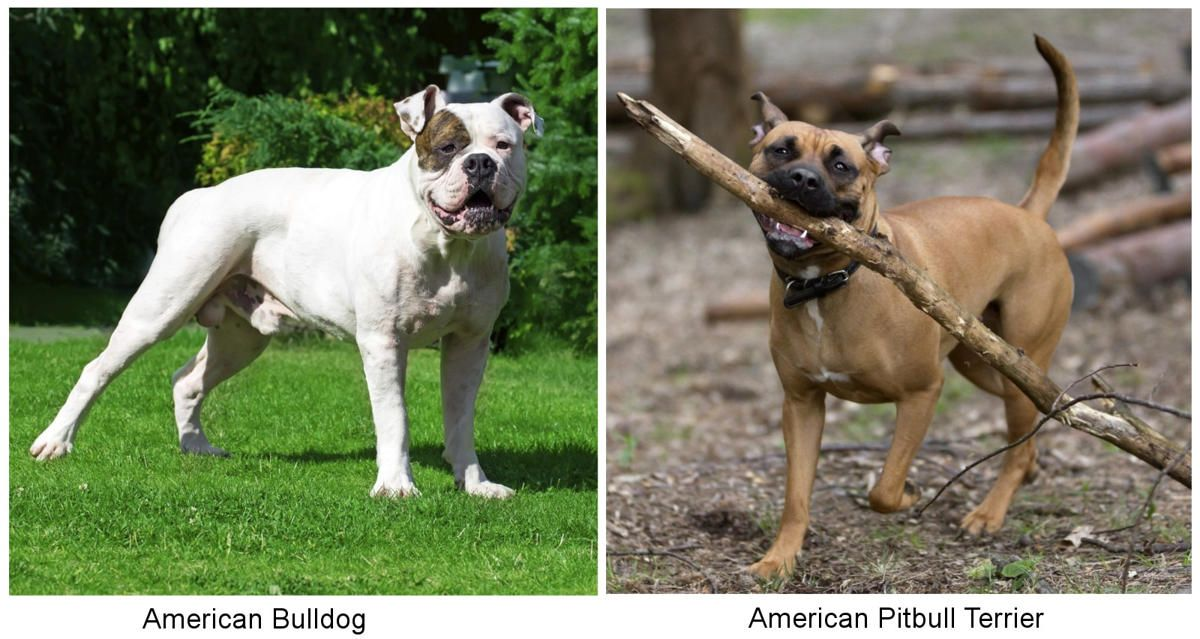 Information About The American Bulldog And American Pitbull