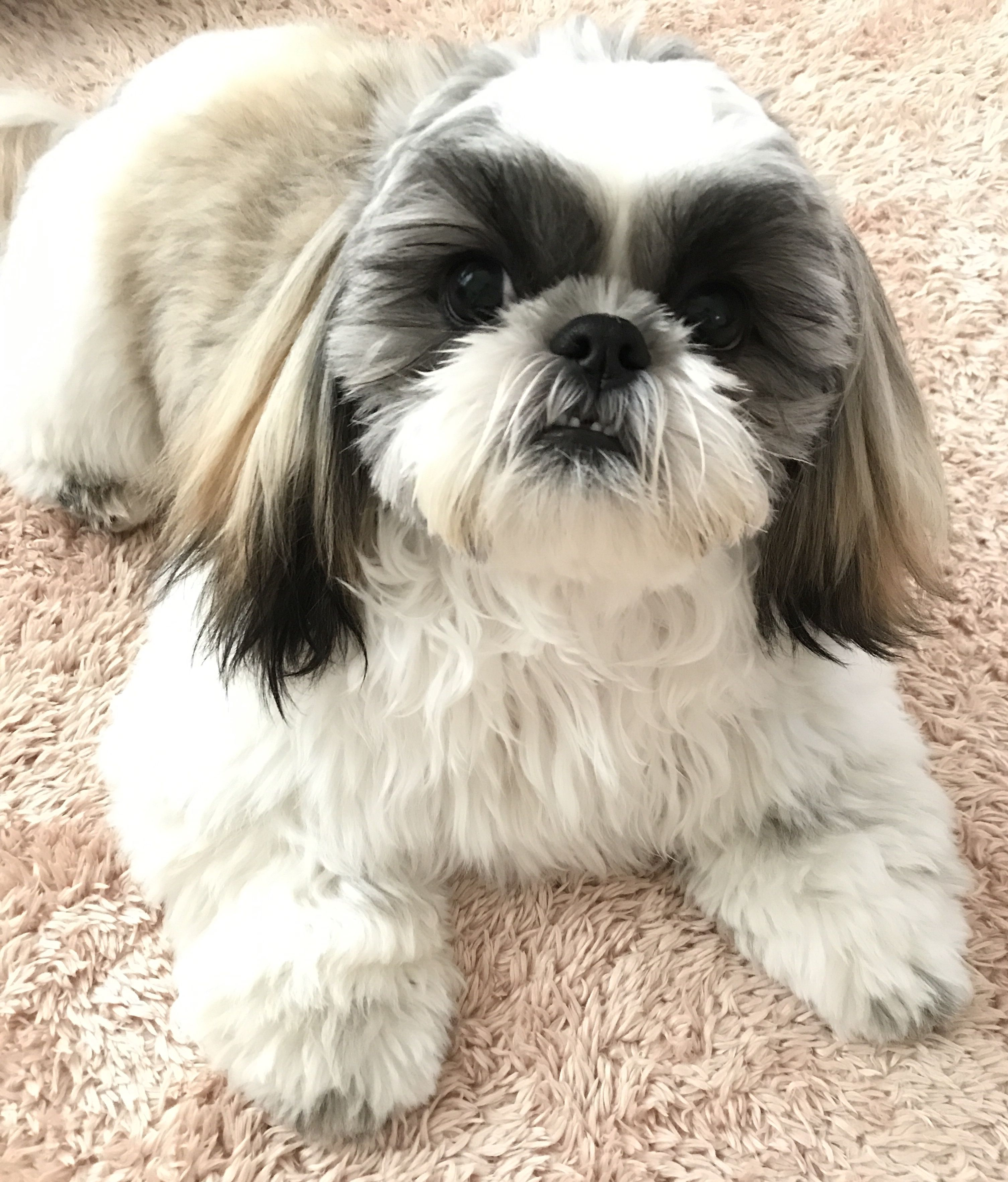 Pin By Lilly Esther On Shitzu Shih Tzu Cute Dogs Puppies Cute