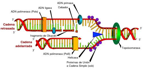 El proceso de replicación de ADN es el mecanismo que permite al ADN ...