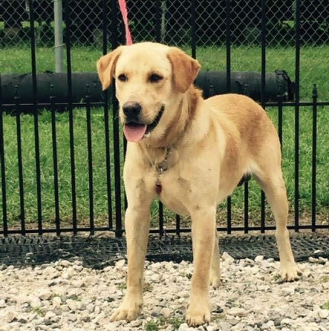 Brutus Is A 9 12 Month Old Male Yellow Lab Looking For His Forever Home He Gets Along Well With Other Dogs And People He Is Avail Dogs Dog Adoption Puppies