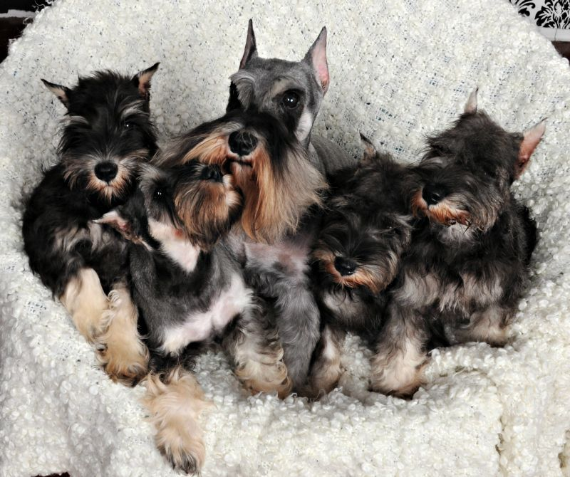 Vanna And Her Puppies Miniature Schnauzer Puppies Schnauzer Puppy Miniature Schnauzer