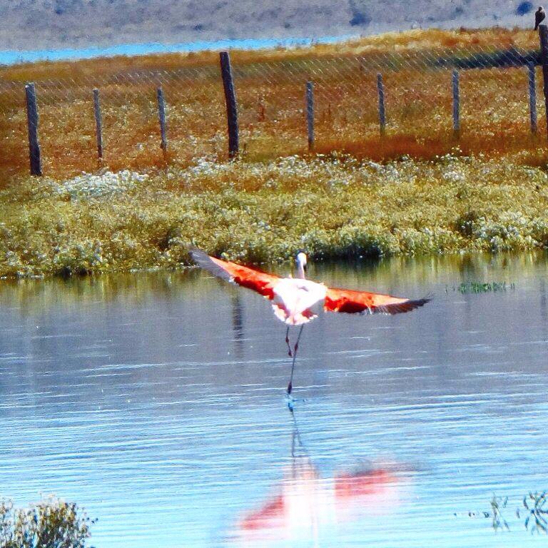 Flamencos en Laguna Nimez