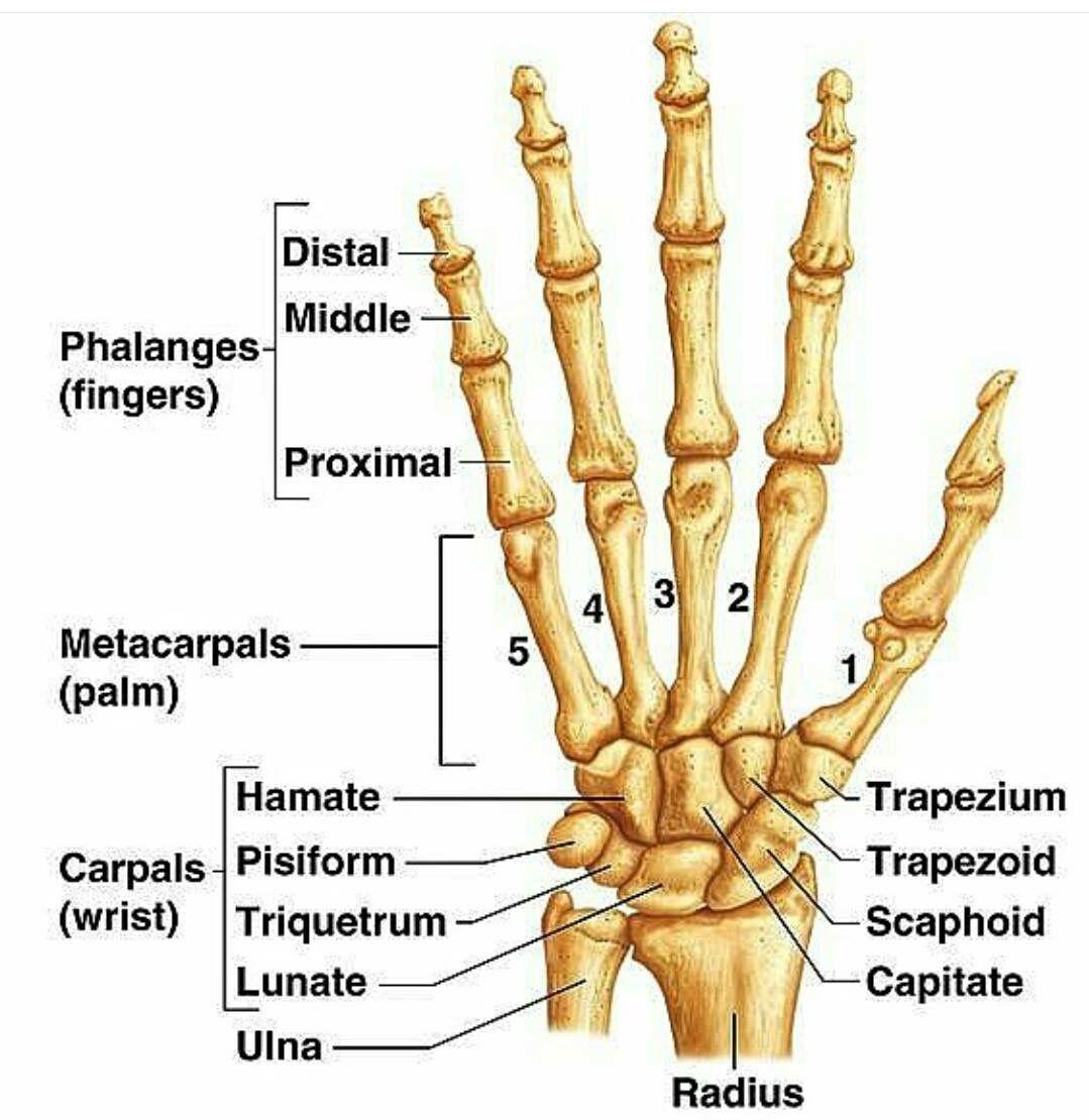 Pin de Cheryl en Massage therapy | Pinterest | Medicina y Anatomía