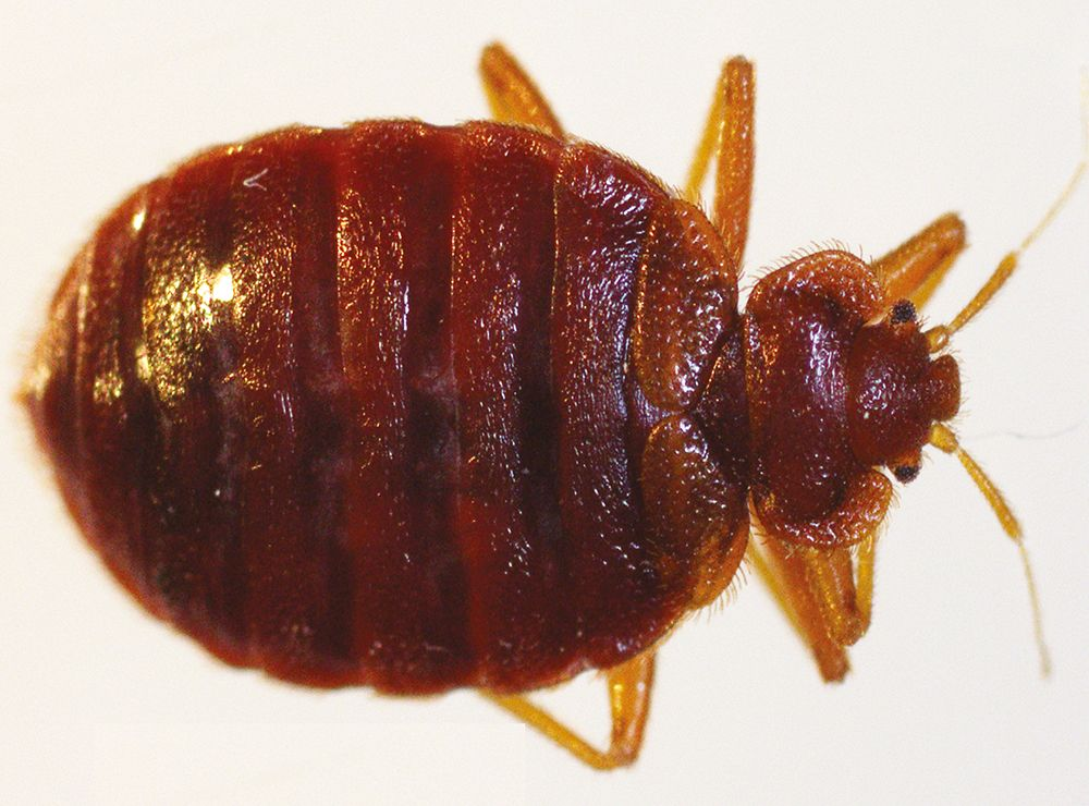 Research Confirms First Bed Bug Infestation In Costa Rica In Over