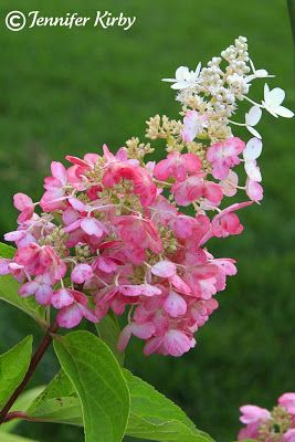 the minnesota garden hydrangeas pinky winky - Flower Garden Ideas Minnesota