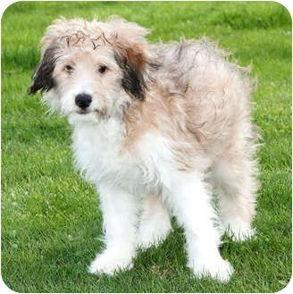Sheltie Poodle Mix Yahoo Search Results Image
