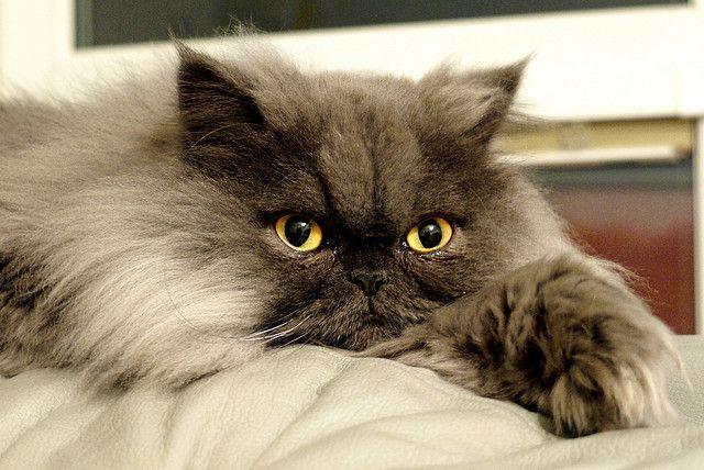 Persian Cat Cute Cats And Kittens Cute Cats Beautiful Cats