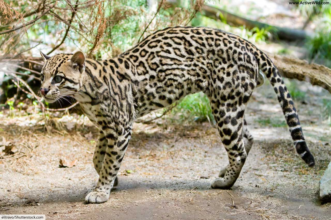 Ocelot Facts For Kids Information, Pictures & Video. in