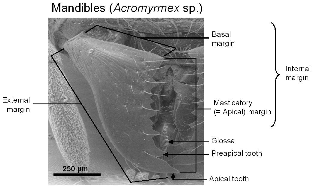 Fig029_mandiblesacro | Ant Anatomy | Pinterest