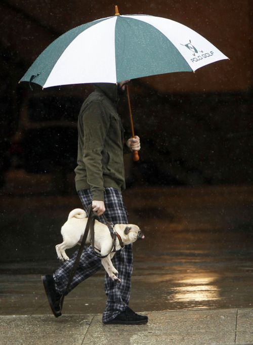 what do you do when your pug doesn't want to get his feet and head wet..... Carry him and use an umbrella