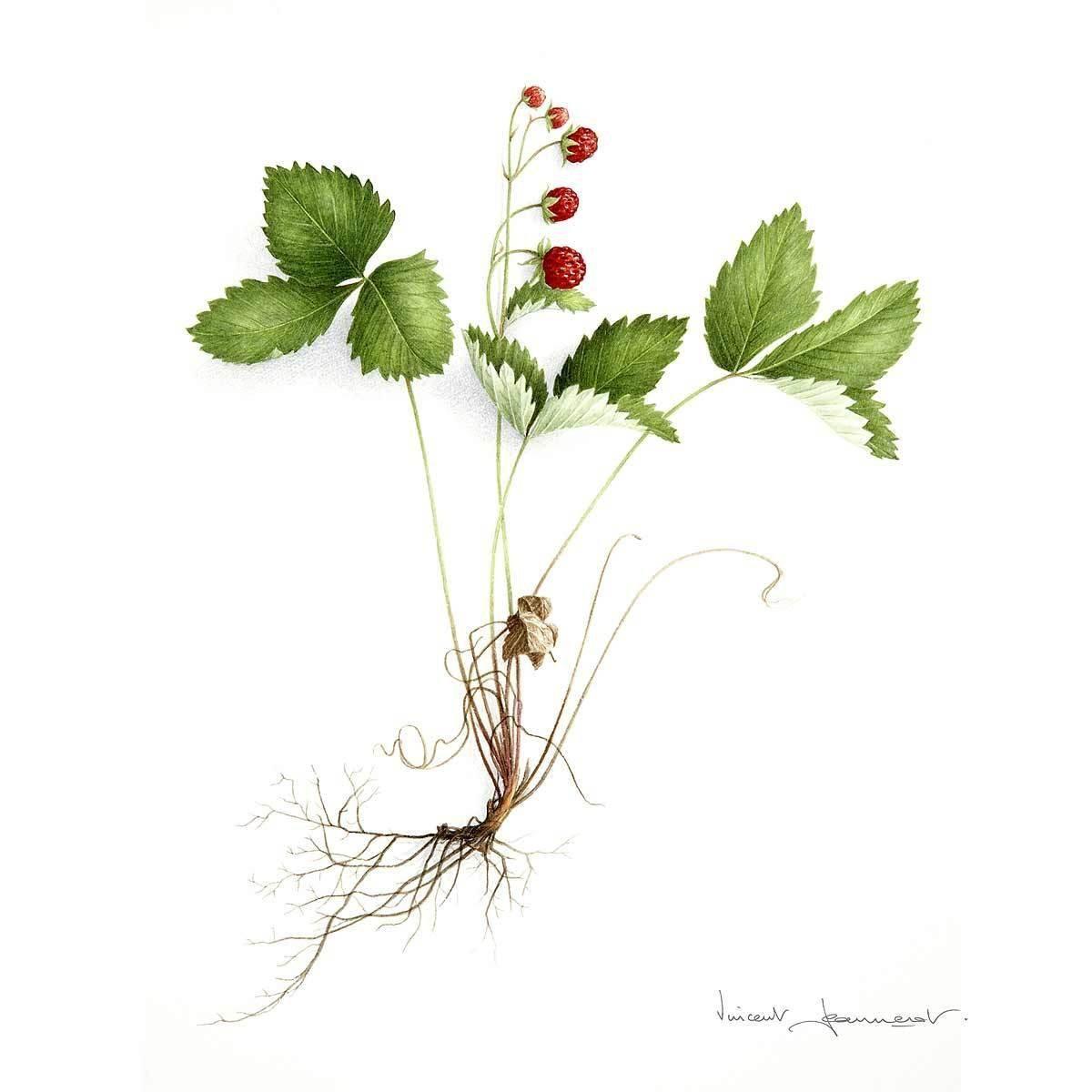 Vincent Jeannerot Aquarelle Botanique Affiche Botanique Dessin