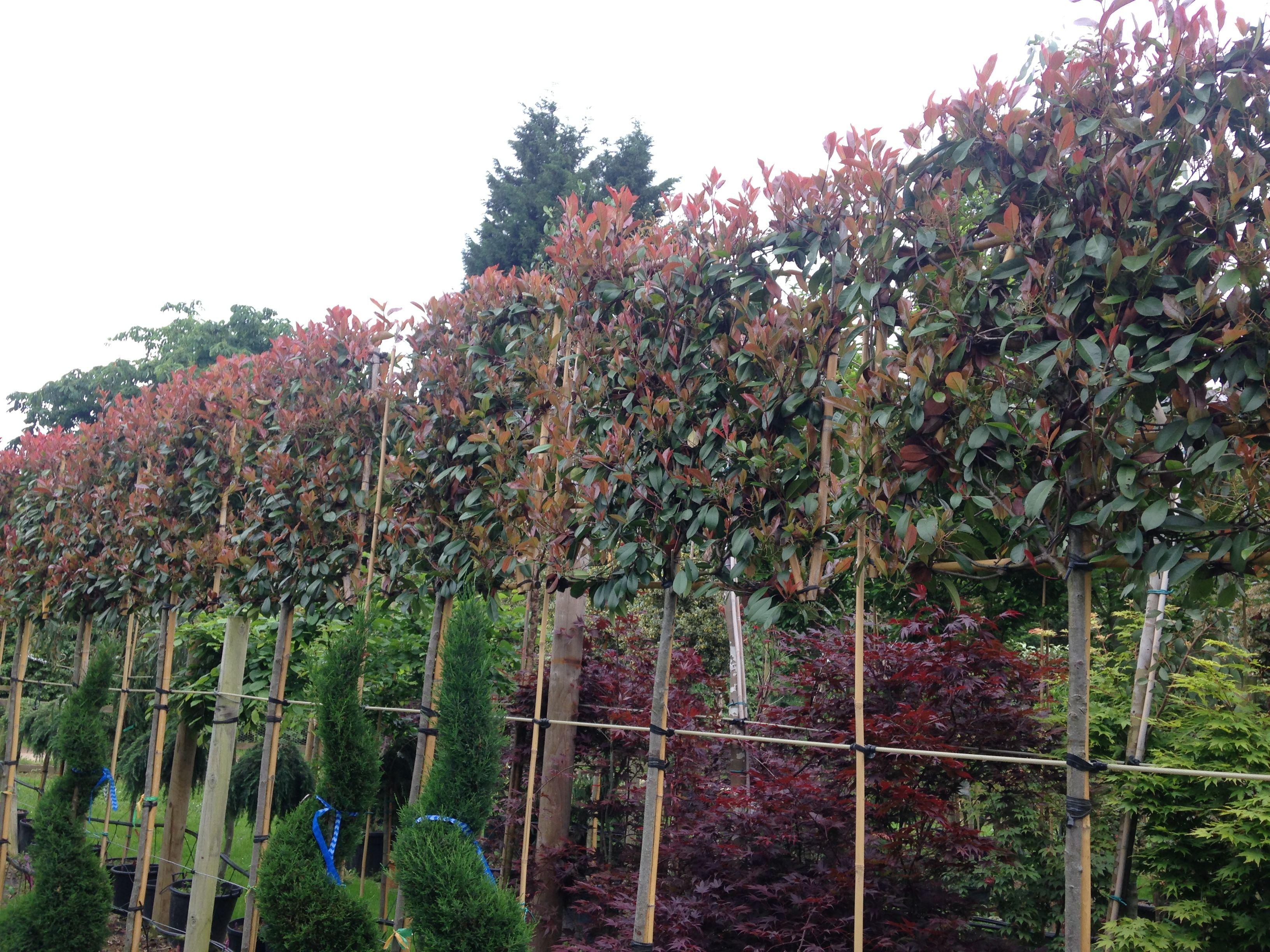 pleached photinia x fraseri 39 red robin 39 trees. Black Bedroom Furniture Sets. Home Design Ideas