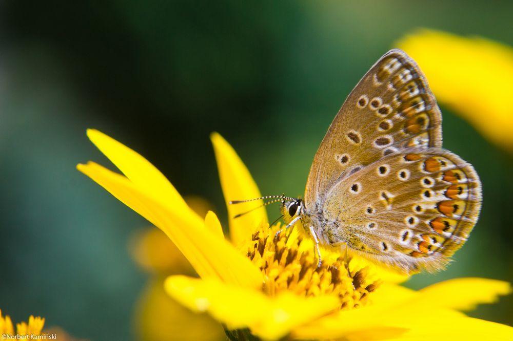 Butterfly by Norbert Kamiński