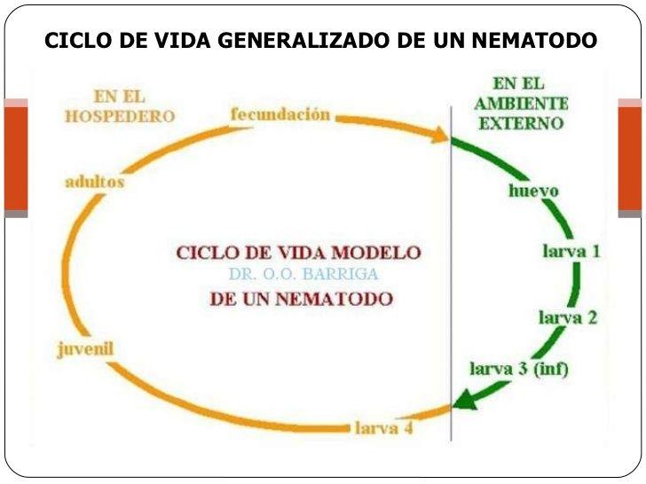 En los nemátodos se pueden encontrar dos tipos de ciclo de vida ...