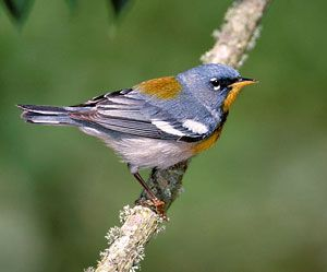 Northern Parula photo from houston audubon | Bird Life List