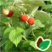 Hindbær Algonquin - Potte