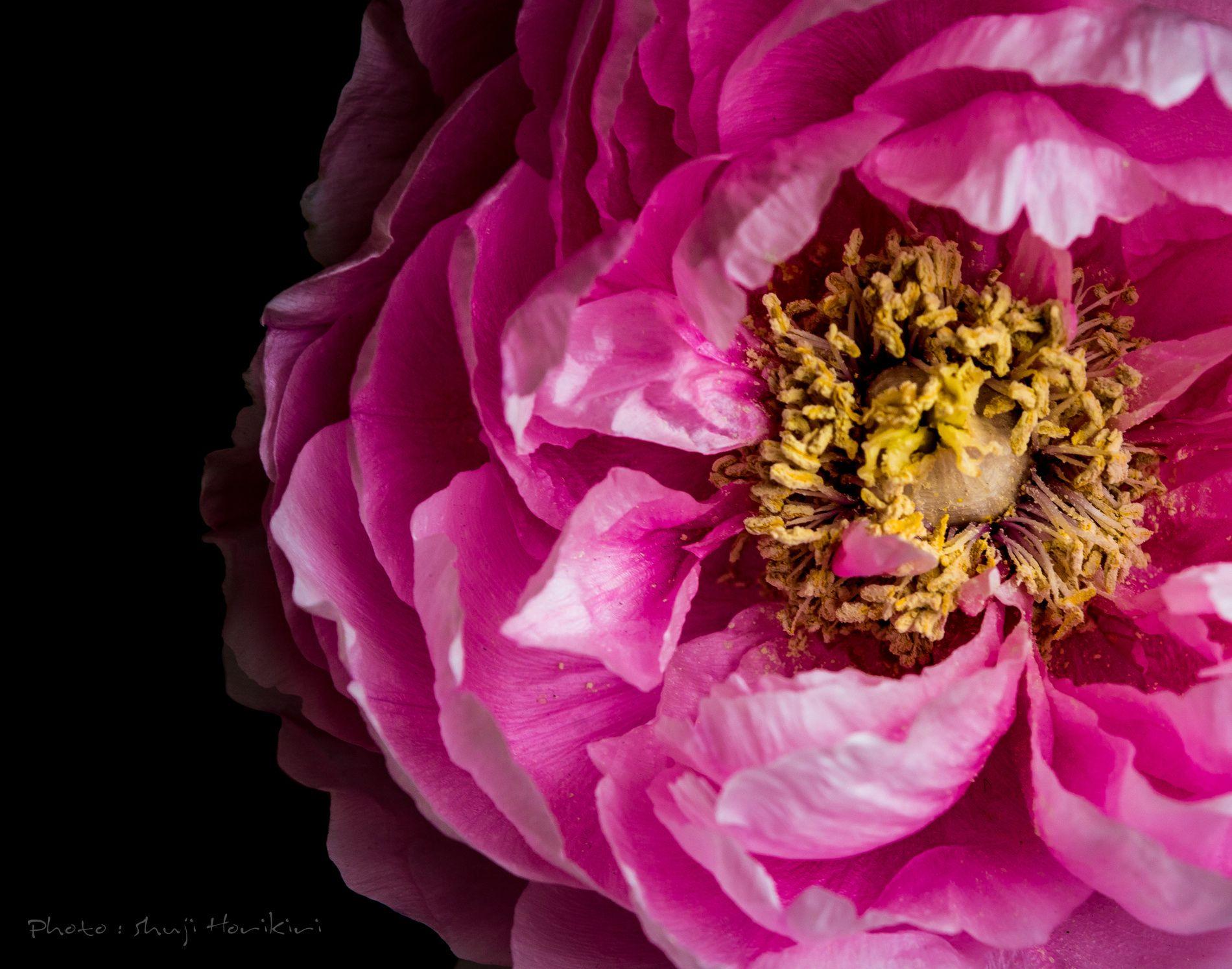 Photograph Peony flower by Shuji Horikiri on 500px