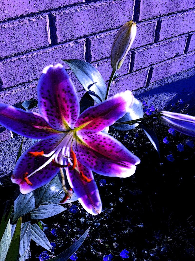 purple lily flower plant - photo #12