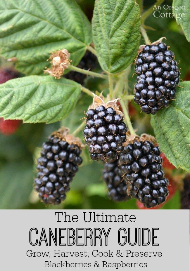 The Ultimate Caneberry Guide Growing Harvesting Cooking And Preserving Raspberries And Blackb Growing Raspberries Fresh Berries Recipes Growing Blackberries