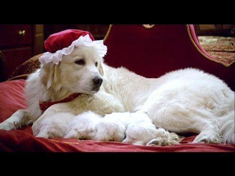 Wells Providence Has Great Pyrenees Puppies For Sale In Silex Mo
