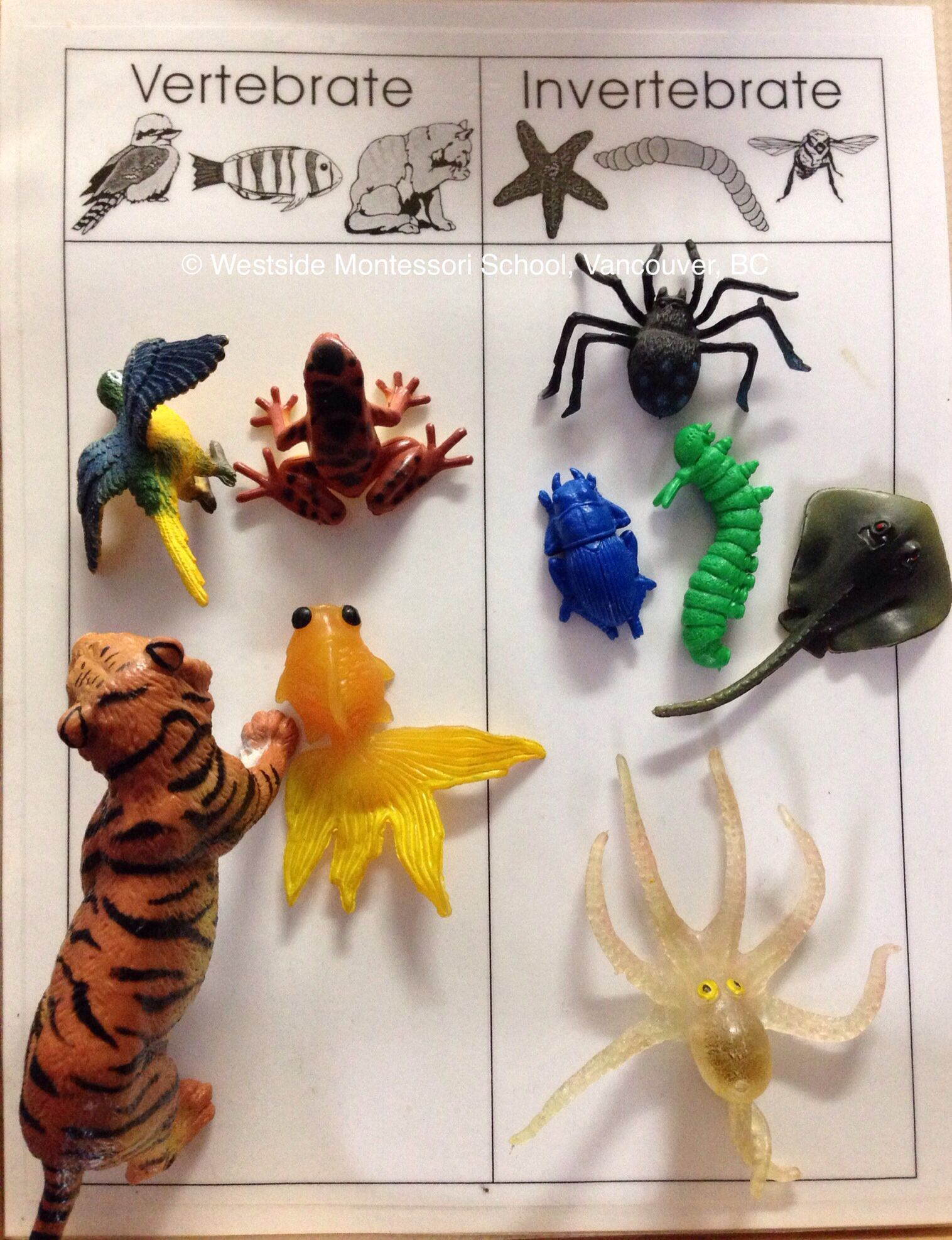 Invertebrates Vertebrates Backbones Sorting Animals