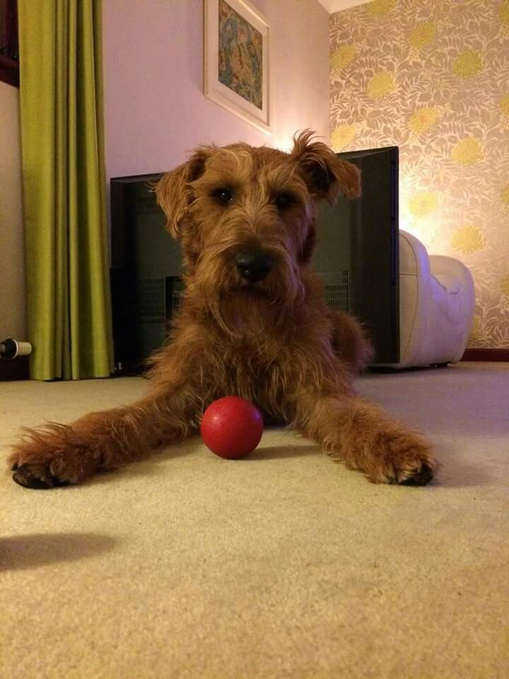 Lets play ball irish terrier terrier dogs