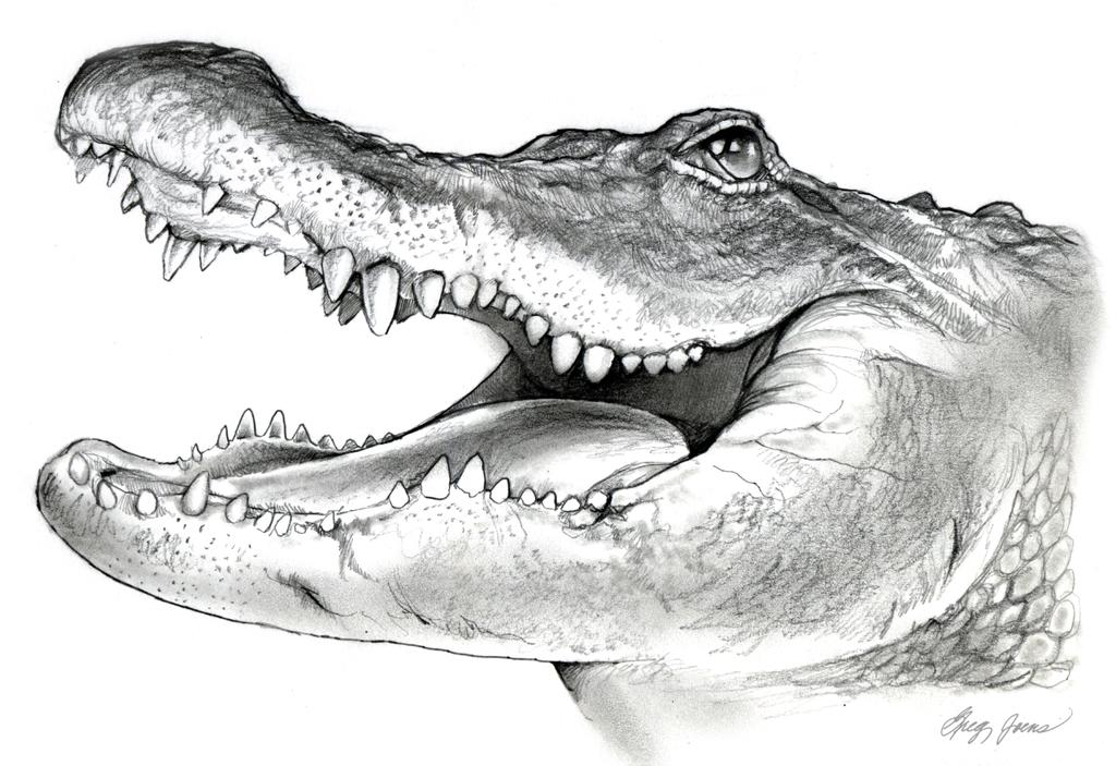 American alligator pencil sketch by on deviantart animals in pencil - Crocodile dessin ...