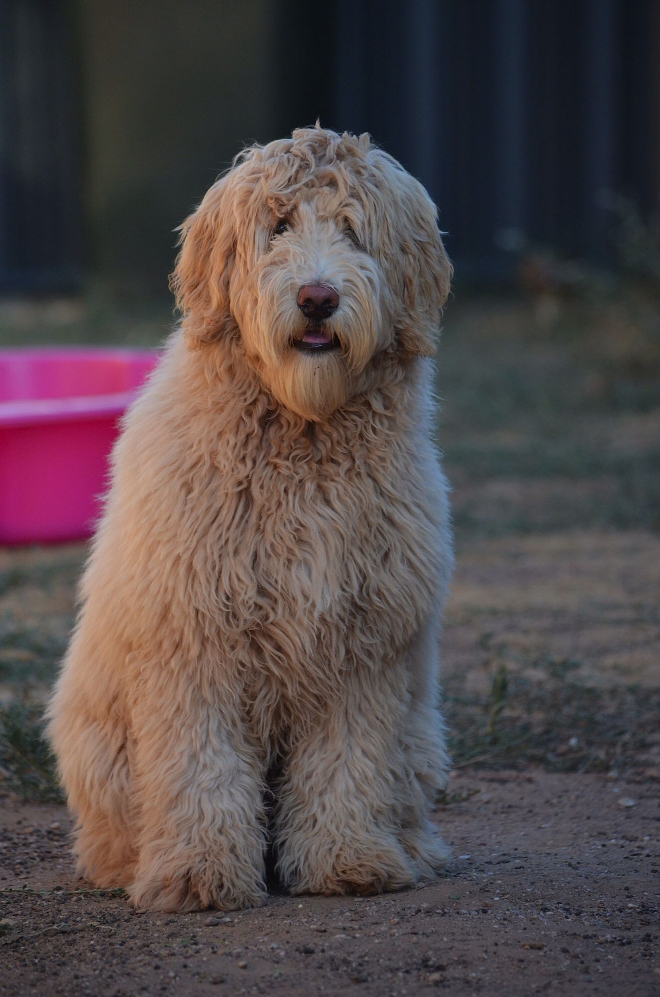 Australian labradoodle puppy bossy the labradoodle pinterest australian labradoodle puppy bossy the labradoodle pinterest labradoodle australian labradoodle and australian labradoodle puppies nvjuhfo Images