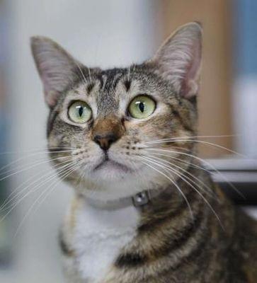 Houston, TX Domestic Shorthair. Meet KITTY BEE a Pet for