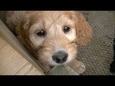 We Have Cockapoo Puppies For Sale And Goldendoodle Puppies For Sale In Ontario Looking For Cockapoo And Gol Cockapoo Puppies Puppies Cockapoo Puppies For Sale