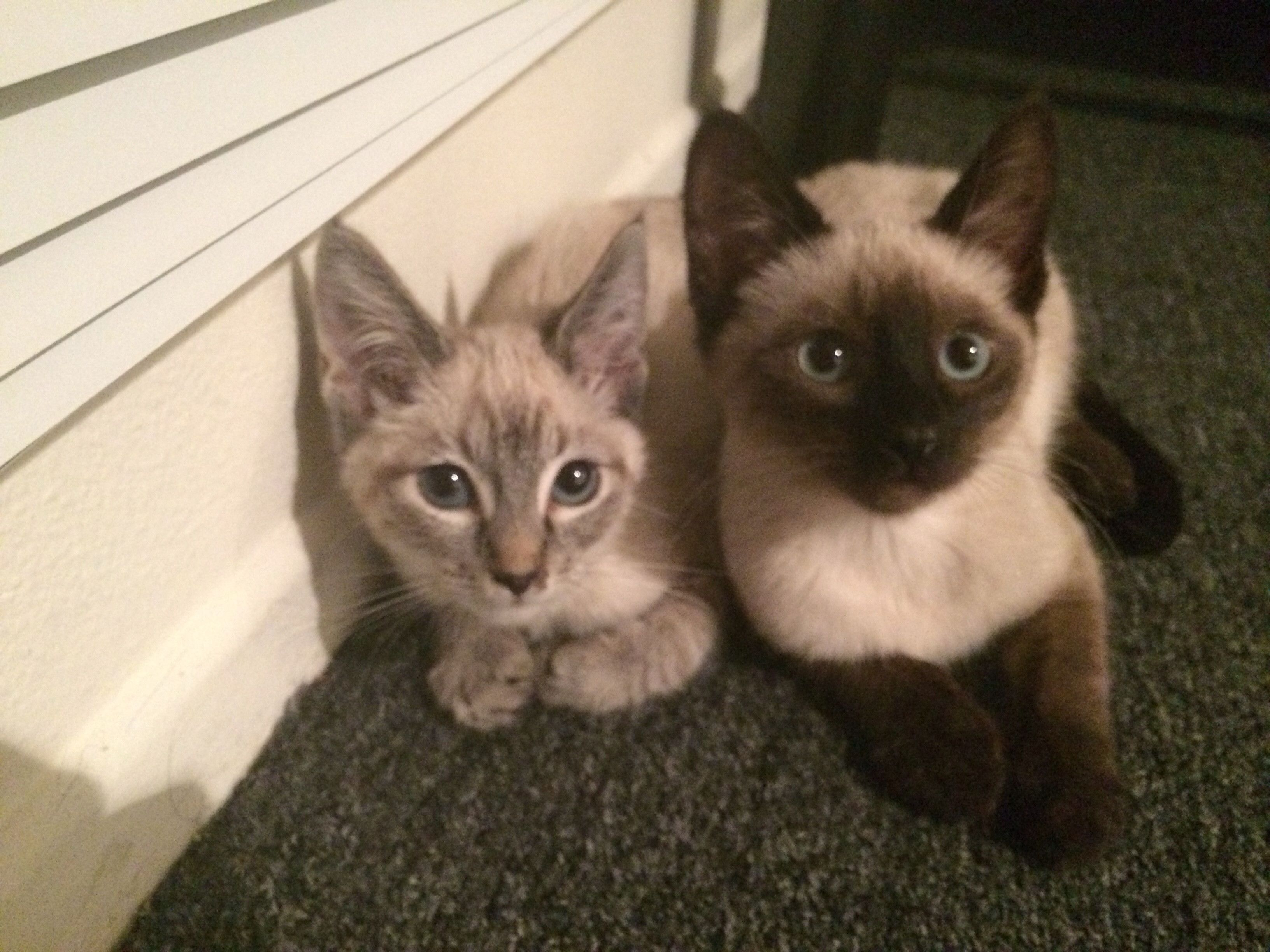10 Week Old Siamese Siblings Oriental Cat Siamese Cats Cats And Kittens