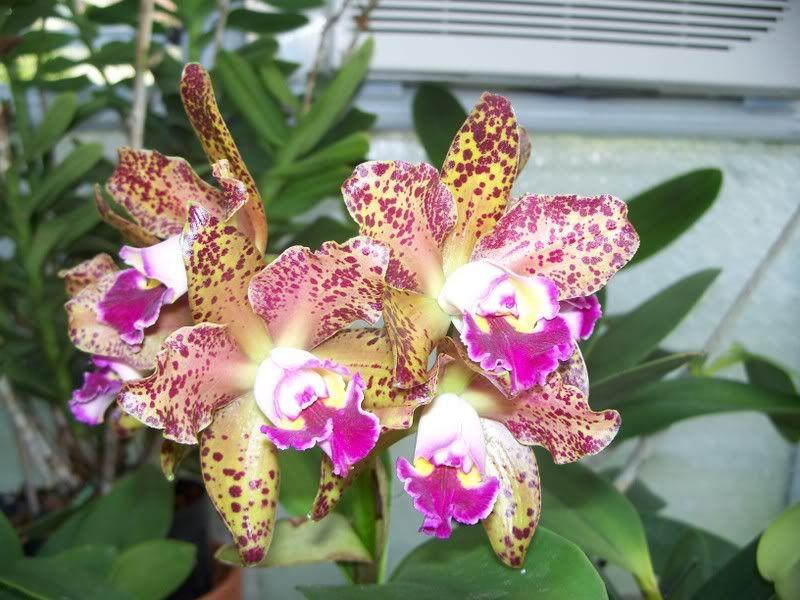 Orchid BLC Waianae Leopard Ching Hua Image | Blc. Waianae Leopard 'Ching Hua' Secret? - Orchid Board - Most ...