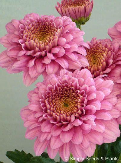 Pin By Pamela Sieckman On Mums Mums Mums September Flowers Flowers Orchid Flower