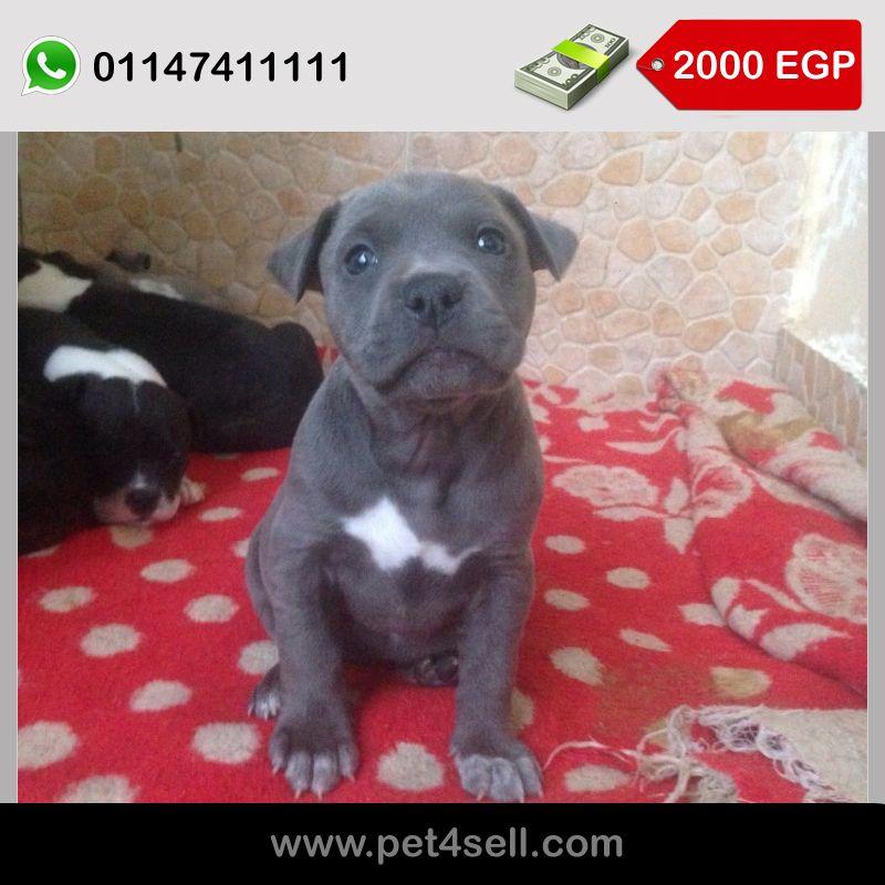 Pitbull Puppies 3males And 4 Females Puppies Pitbulls Pitbull Puppies