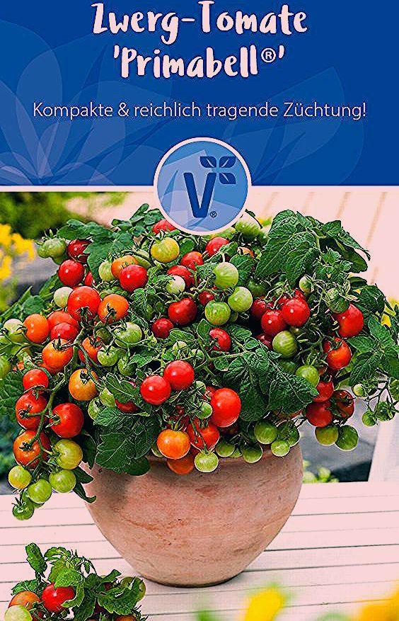 Zwergtomate für Garten & Balkon! / Tomatenpflanze / Tomaten / Topftomate von Volmary