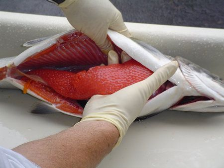 The Salmon Egg From Cleaning To Curing Salmon Eggs Fish Salmon