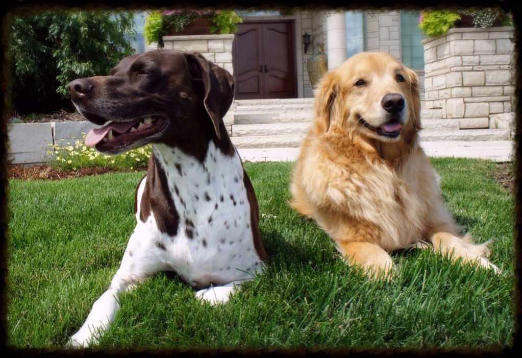 Karlie And Lily My German Shorthair Pointer And Golden Retriever