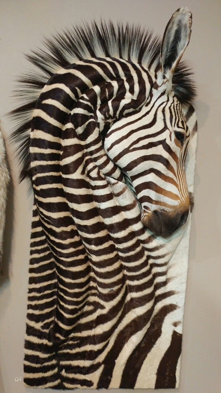 Zebra Wall Art zebra wall art mount | full curl taxidermy | pinterest