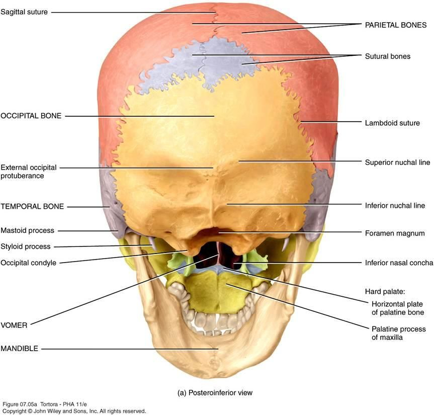 nuchal line - Google Search | anatomy 2015 | Pinterest