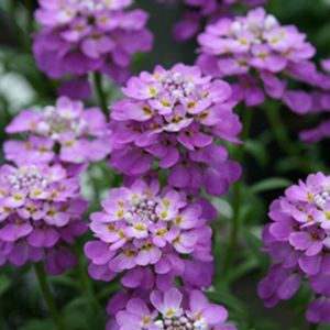 Iberis Absolutely Amethyst Buy Candytuft Perennials Online Purple Flowers Plants Amazing Flowers