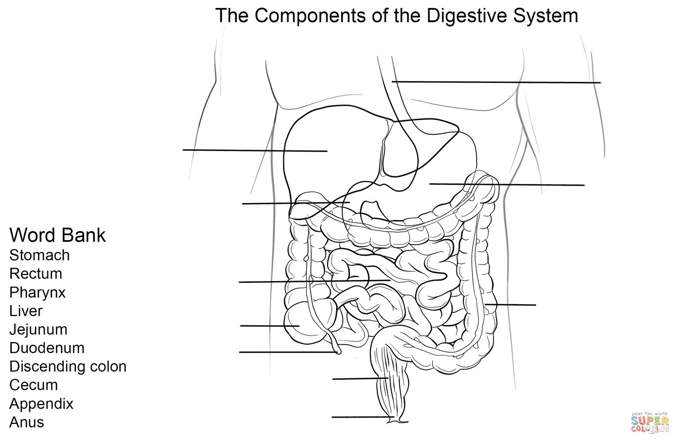 small resolution of digestive system worksheet super coloring