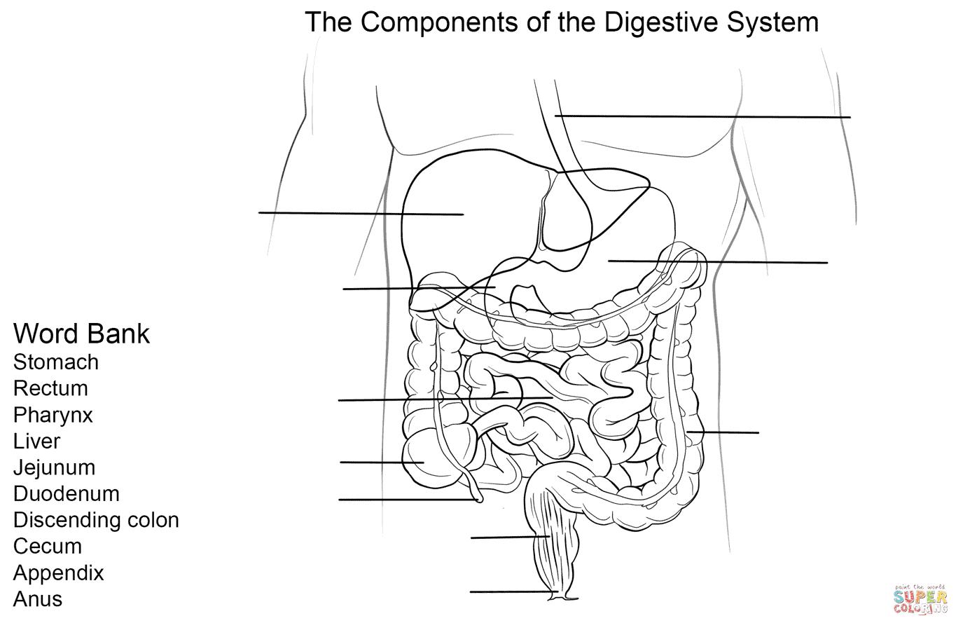 Digestive System Worksheet | Super Coloring | Body | Pinterest ...