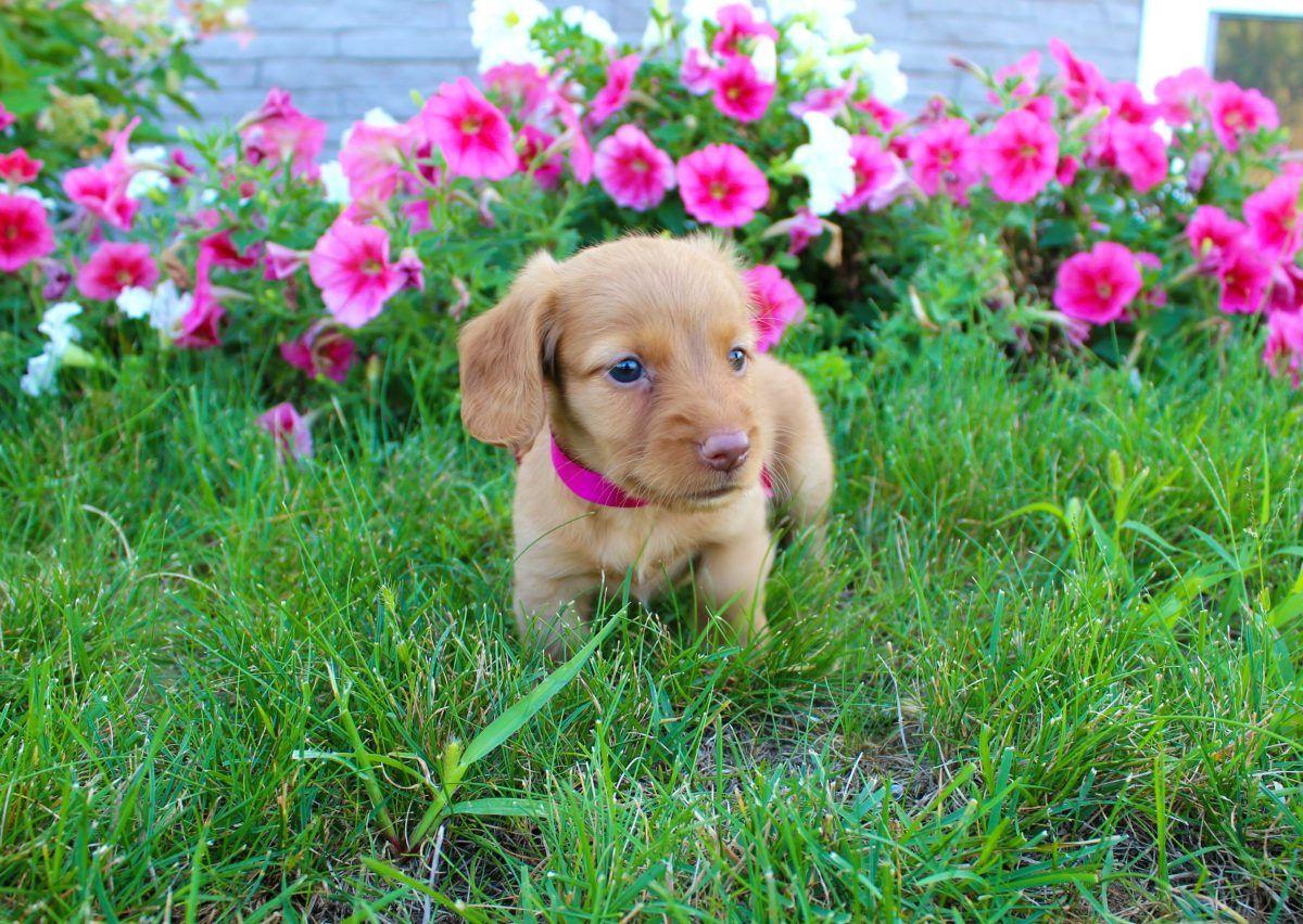 Puppy Finder Dachshund Puppy Miniature Puppies Dachshund Puppies