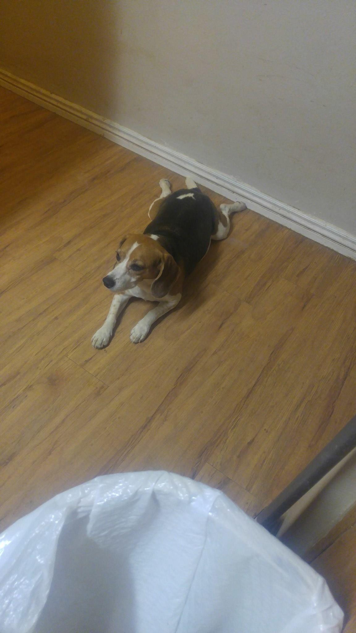 Beagle Dog For Adoption In Phoenix Az Adn 554507 On Puppyfinder